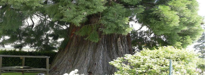 Größte Bäume der Welt  auch im Wechselland