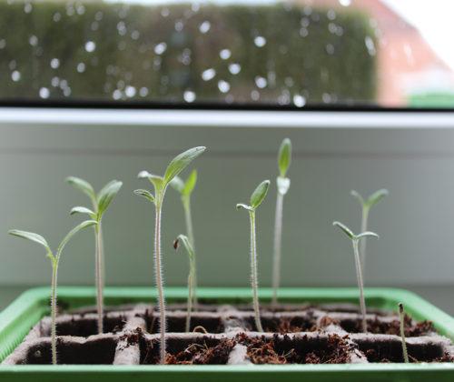 Chili und Tomaten  anpflanzen